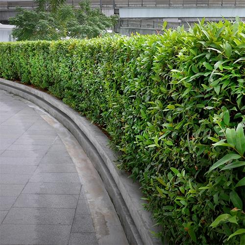 Rostliny pro živé ploty