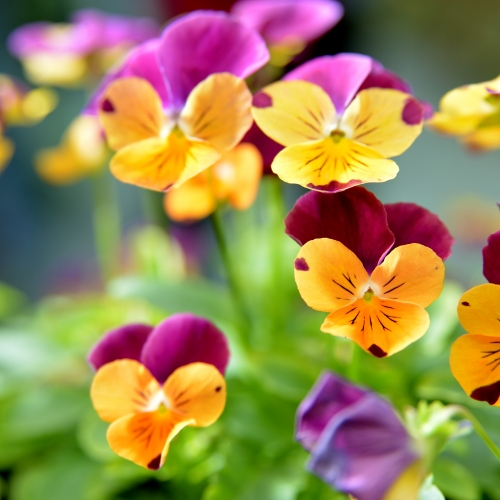 Sezónní rostliny