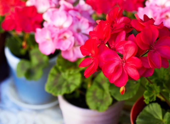 Kwiaty balkonowe i jednoroczne