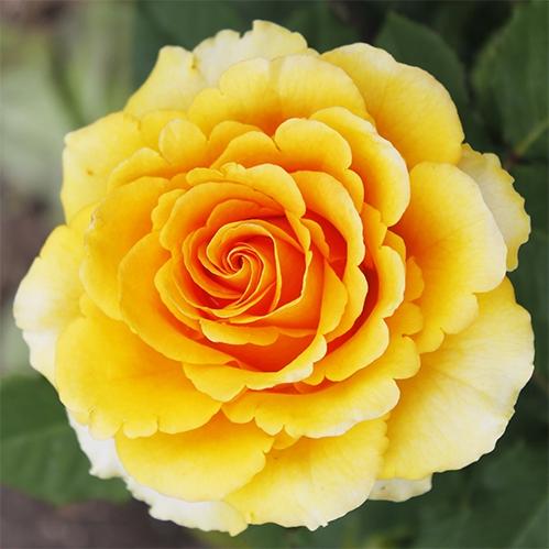 Exkluzivní růže