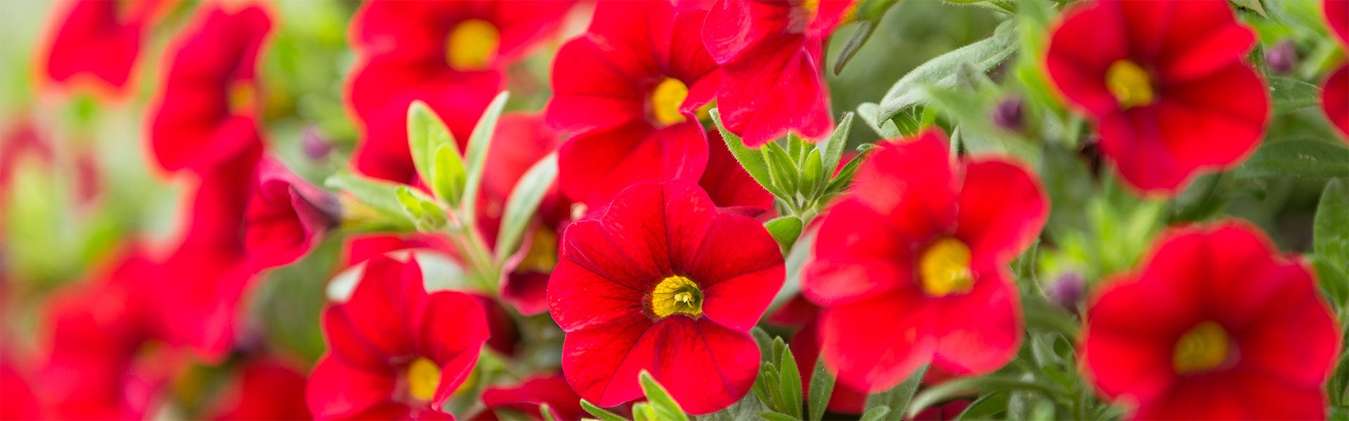 """<p data-aos=fade-up style=""""text-align:center""""><strong>Garden center close to you</strong></p>  <p data-aos=fade-up style=""""text-align:center"""">Open daily</p> <p class=vice data-aos=fade-up><a href=""""https://www.zahradaflora.cz/en/contacts/"""">More here</a></p>"""