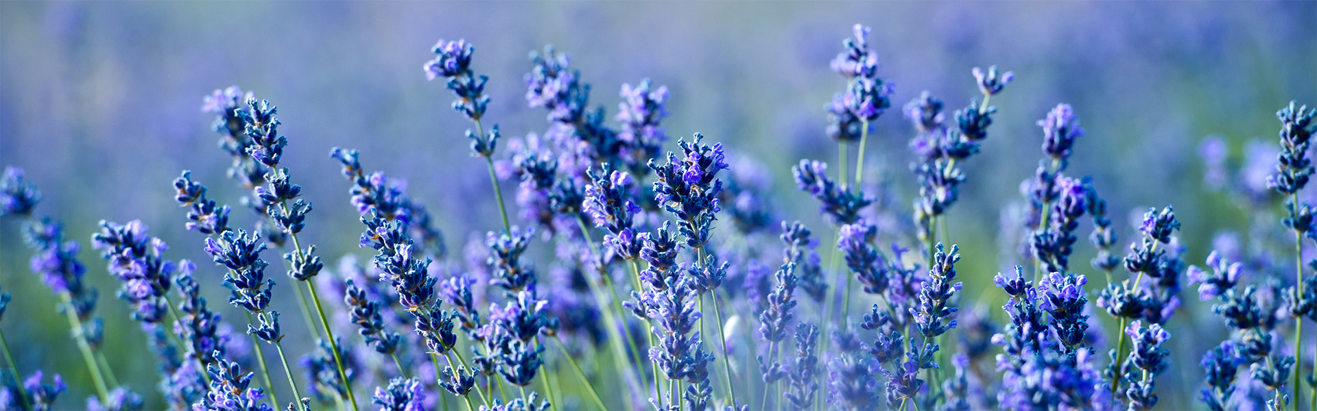 """<p data-aos=fade-up style=""""text-align:center""""><strong>Lavender</strong></p>  <p data-aos=fade-up style=""""text-align:center"""">Gentle summer scent in your garden</p>"""
