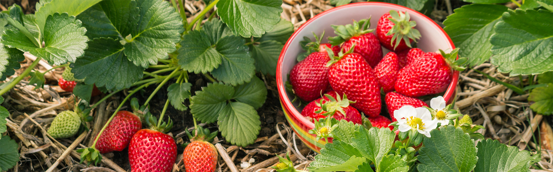 """<p data-aos=fade-up style=""""text-align:center""""><strong>Sweet strawberries</strong></p>"""