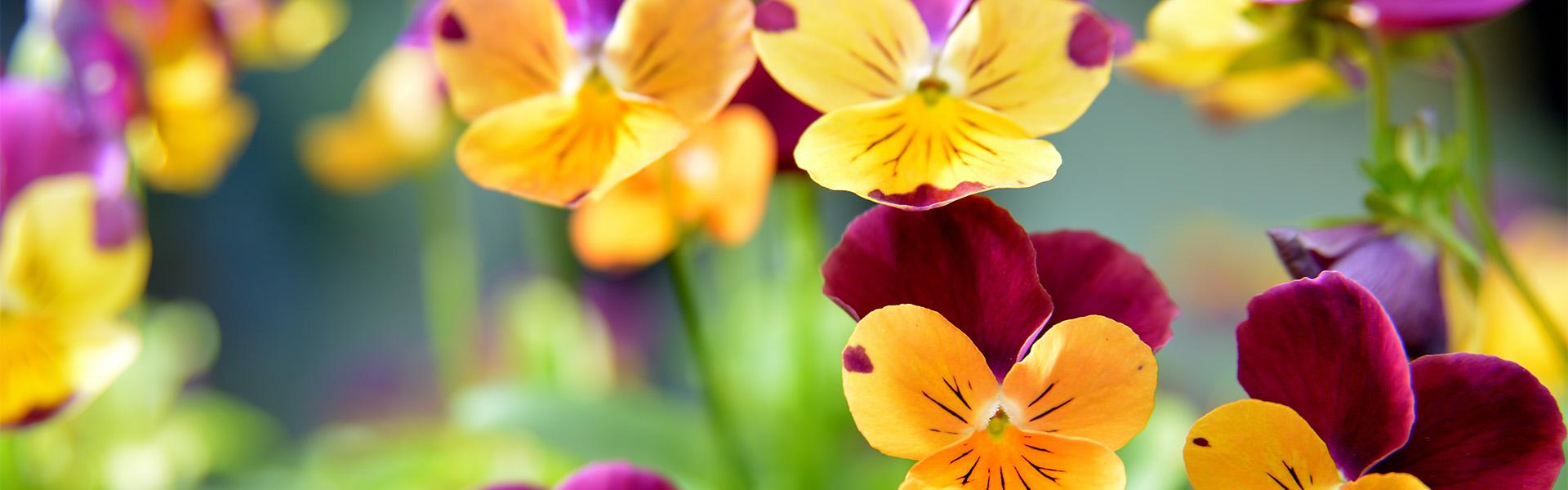 """<p data-aos=fade-up style=""""text-align:center""""><strong>Nechte se okouzlit něžnou krásou macešek</strong></p>  <p data-aos=fade-up style=""""text-align:center"""">v zahradnictví blízko Vás</p> <p data-aos=fade-up><a href=""""https://www.zahradaflora.cz/sezonni-rostliny"""">Více zde</a></p>"""